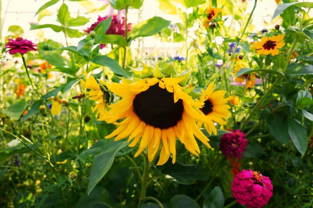 Blumenwiese Terre Suisse Sonnenblumen Mischung
